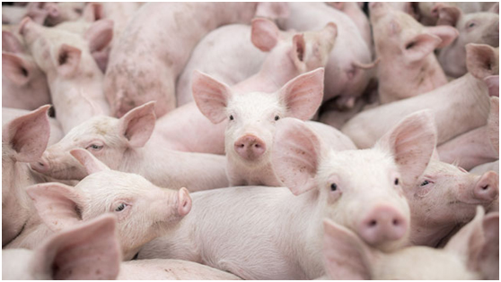 Countermeasures and Suggestions for African Swine Fever