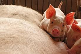 The COVID-19 outbreak at the slaughterhouse led to the largest pig culling effort